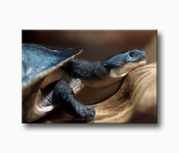 siyah kaplumbağa